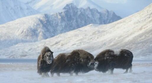 Climate change threatens the existence of Arctic musk oxen