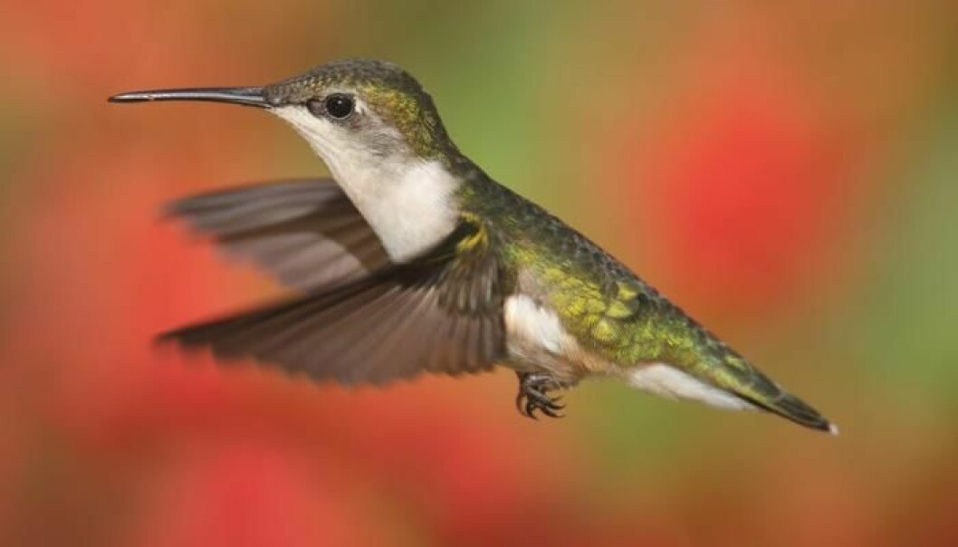 Blood from South American birds like the hummingbird reveals that evolution is more complicated than we thought. (Photo: Shutterstock.com)
