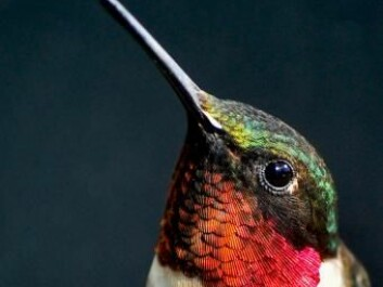 Hummingbirds can live at high altitudes because their haemoglobin is particularly effective at absorbing oxygen. (Photo: Shutterstock)