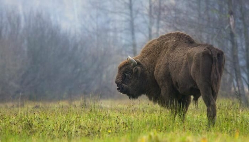 Today there are about 4,000 bison in Europe. The largest population is in Poland. (Photo: Rafał Kowalczyk)