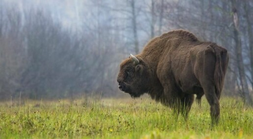 Cave paintings and bones reveal origins of European bison
