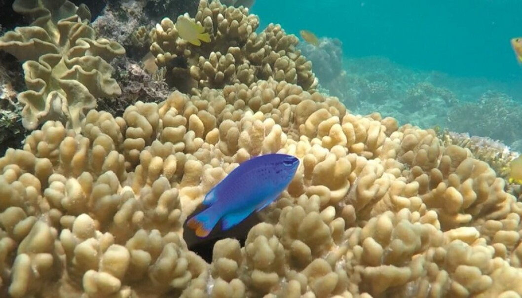 What makes males attractive to females? Researchers in Trondheim have conducted a very thorough study of the sexual behaviour of a small coral reef fish in Australia. They concluded that females can modify their standards in different situations as time passes. (Photo from the research project)