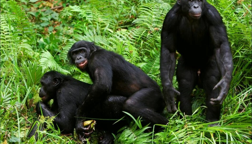 New DNA analyses show that chimpanzees and bonobos were more than just friends in the past. (Photo: Shutterstock.com)