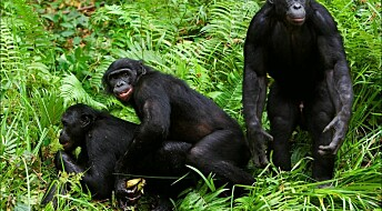 New evidence that early chimps and bonobos interbred