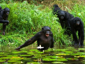 Chimps and bonobos enjoy wading into the Congo River to catch food, but they cannot swim and so do not cross it entirely. (Photo: Shutterstock)