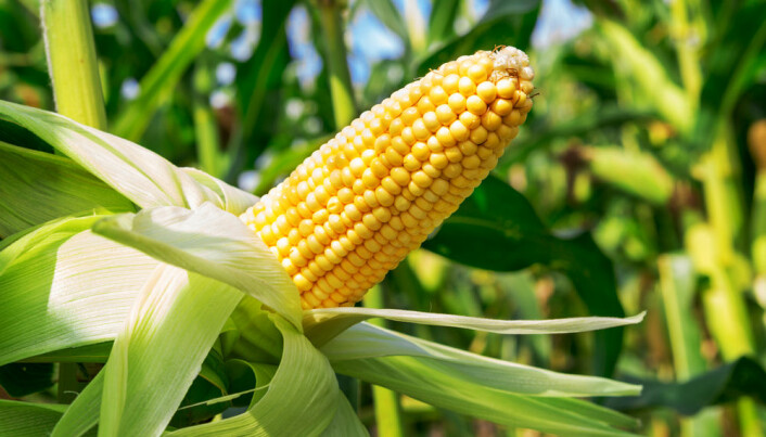 5,000-year-old cob reveals the origins of corn