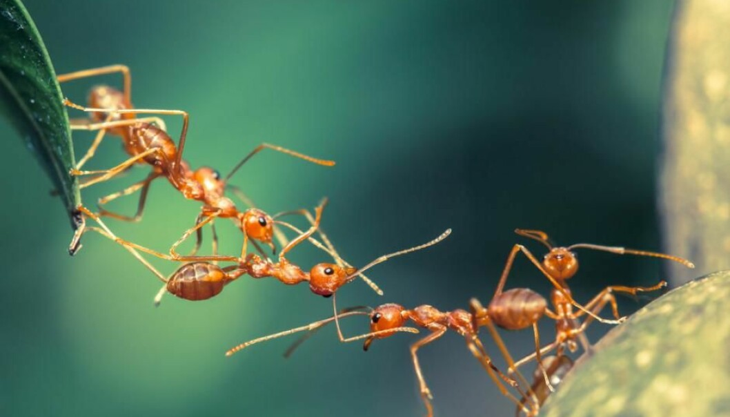 ScienceNordic delves into the world of basic research. Follow us into the basement at the Center for Social Evolution at the University of Copenhagen, where scientists are studying thousands of ants to learn how they protect each other from disease. (Photo: Shutterstock)
