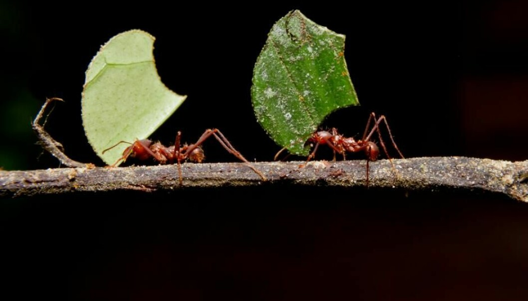 Scientists at the Center for Social Evolution are conducting basic research on ant colonies and believe that they could teach us a thing or two about efficient farming methods. (Photo: Shutterstock)