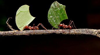 Ants developed agriculture 50 million years ago