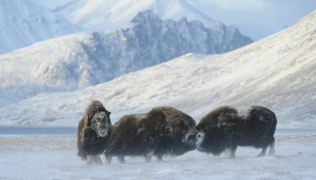 Adult musk oxen are tough beasts and can withstand temperatures down to minus 40 degrees Celsius. But scientists are worried for the musk oxen's long term future as the Arctic warms and new parasites move in. (Photo: Lars Holst Hansen)