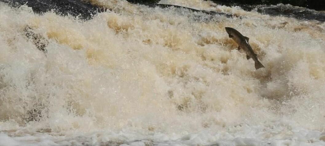 Happy salmon swim further