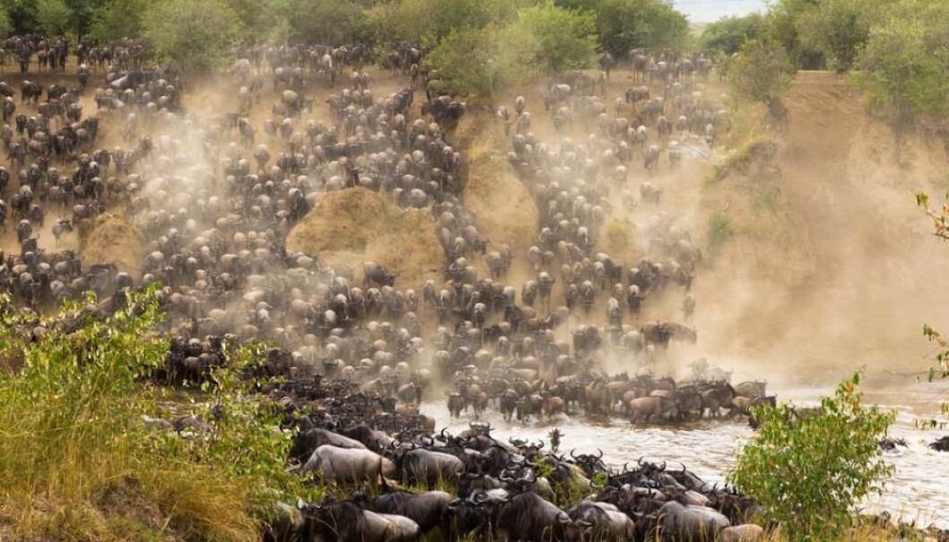 Every year wildebeest set out on a 1,500 kilometre journey in search of water. Their final huddle are the rivers Grumeti and Mara before reaching the short, sweet grass in the Maasai Mara. (Photo: Shutterstock)
