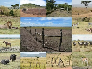 A collage of animals from the Mara area. In the middle is one of the newly erected fences, which is a major threat to wildlife. (Photos and Collage: Mette Løvschal and Peder Klith Bøcher)