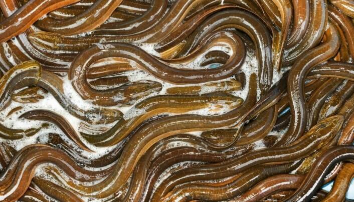 A mystery of secret eel migration solved