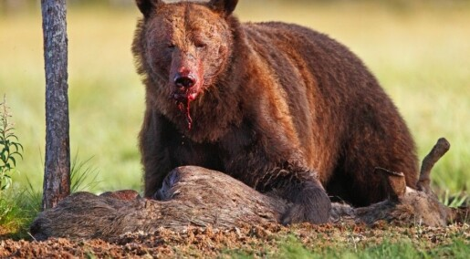 Brown bears vie with wolves for food