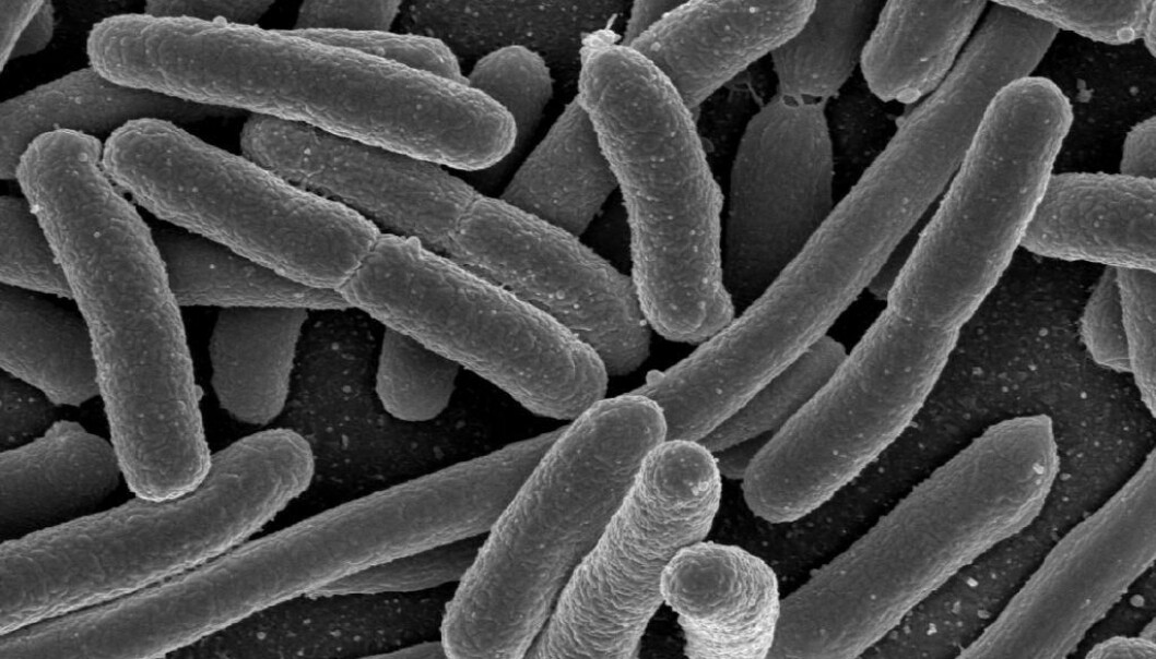 Understanding our intestinal bacteria is one of the fastest growing fields in medical research today. Scientists believe that we will see the first applications of gut bacteria in medical treatments in the next few years. (Photo: Rocky Mountain Laboratories, NIAID, NIH)