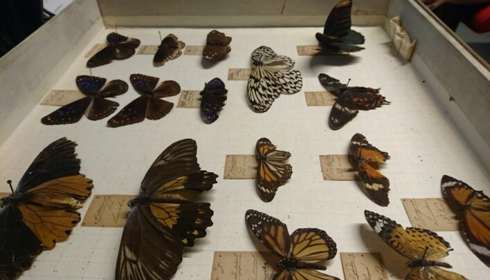 Two-hundred-year old butterflies allow research to take wing