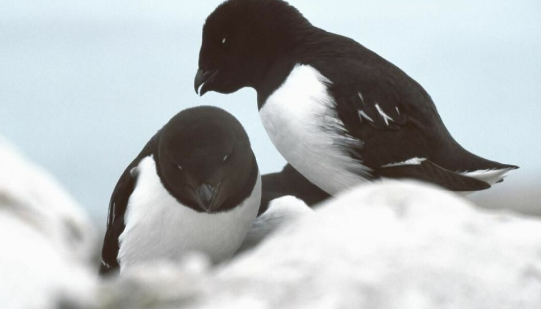 Little auks breed in such large numbers in Northwest Greenland that they significantly change the landscape and make it greener. This is good news for animals like musk ox and hares—but not so good for the fish who can no longer survive in the lakes in these bird colonies as a result. (Photo: Michael Haferkamp)