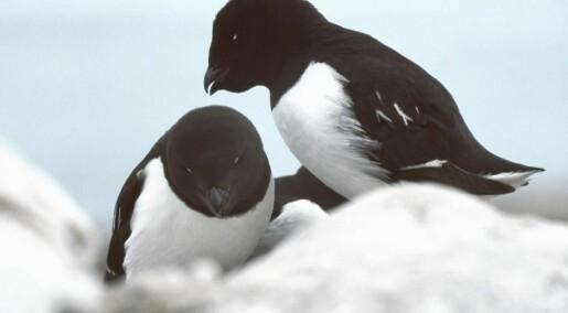 Tiny bird's poo has tremendous impact on Greenland's nature