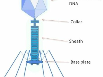 A bacteriophage is any one of a number of viruses that infect bacteria. They do this by injecting genetic material, which they carry enclosed in an outer protein capsid. (Illustration: Wiki Commons)