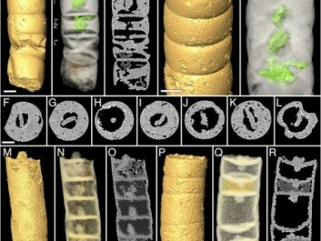 Some of the best-preserved fossils of the red algae Rafatazmia. (Photo: PLOS Biology / Bengtson et al.)