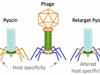 Here you can see the similar structure of the pyocin nano-injector (left) and phages (centre) with a contractile tail. The similarity allows us to change the host specificity of the pyocins using the phage receptor binding protein, resulting in a re-target pyocin (right) that kills Salmonella and Campylobacter. (Illustration: Lone Brøndsted)