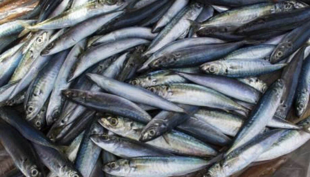 Fish populations are moving polewards as the ocean warms and this is already causing conflict between fisheries in Iceland and elsewhere. (Photo: Shutterstock)