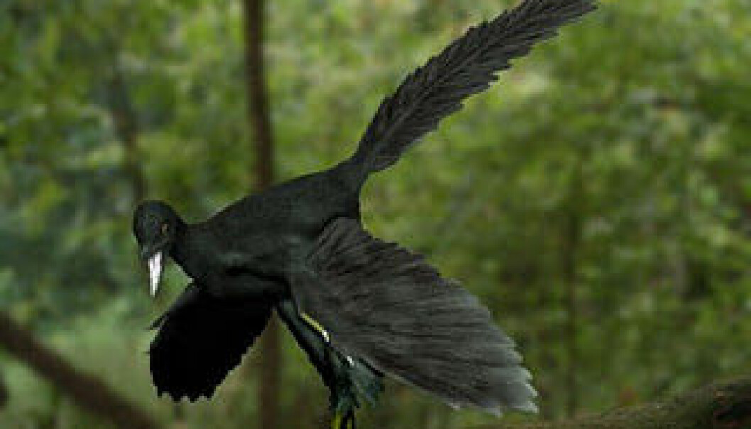 Archaeopteryx has frequently been depicted with plumage in all the colours of the rainbow. But the new research indicates that it was more likely to have been as black as the bird illustrated, which is a reconstruction based on the new information. (Photo: NobuTamura)