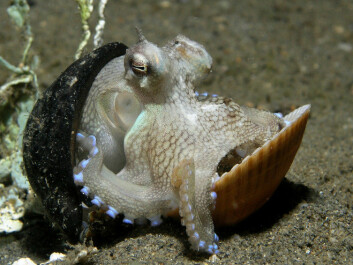 An octopus using a nut shell and clam shell as shelter. (Photo: Nick Hobgood/wikipedia)