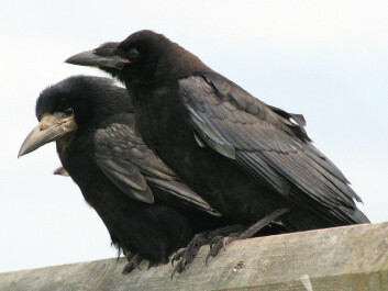 Rooks are good problem solvers despite not normally using tools. (Photo: John Haslam/wikipedia)