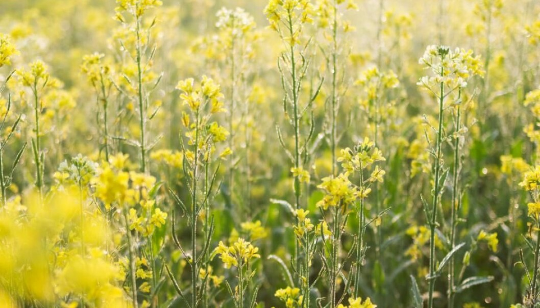 Mustard is toxic and is a poor choice of animal feed. But new research shows how to remove the toxic components of the mustard seeds, without the losing the plant's natural resistance to pests. (Photo: Shutterstock)