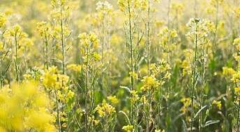Mustard oil could soon replace rapeseed oil