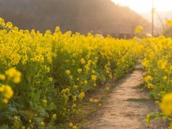 Because it is not a GMO, the new mustard plants can skip over a number of steps in the approval processes and could in principle be grown in fields in two to three years. (Photo: Shutterstock).