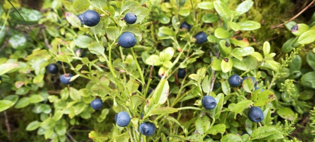 Big trees a threat to popular berries