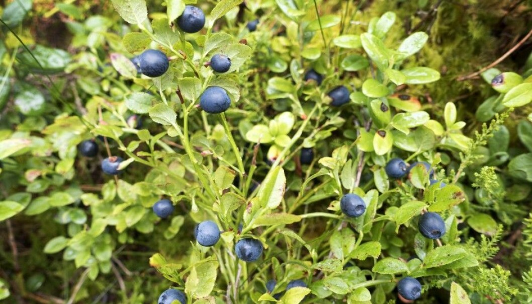 Wild blueberries were plentiful last year in Norwegian and Swedish forests. Generally, however, blueberry bushes have been on the wane in Sweden in the 21st century. (Photo: Gorm Kallestad/NTB scanpix)