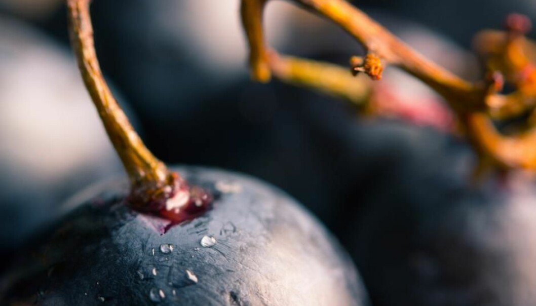 The grape seed was discovered in the sediment fill of a well and the researchers were first doubtful as to whether the seed really was old or just a modern contamination. (Photo: Peter Deichmann, Museum Lolland-Falster)