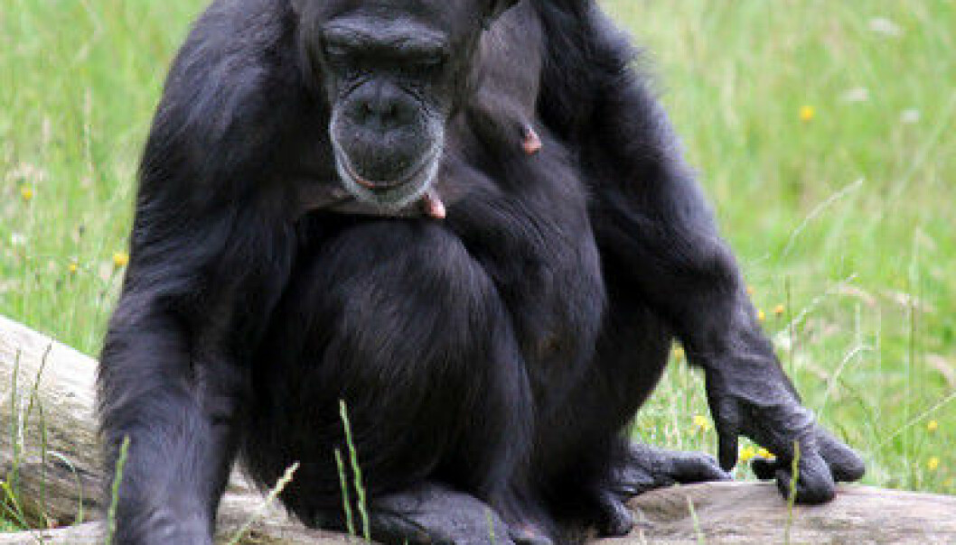 Chimpanzees have many more mutations on the X chromosome that are caused by positive selection than there are on the other chromosomes. This shows that X chromosomes have had great significance for the evolution of chimpanzees, and probably for humans also. (Photo: Colourbox)