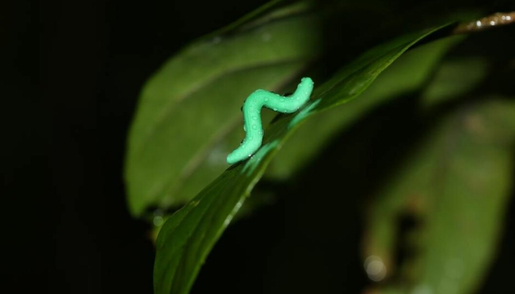 Insect larvae sits on a leaf in the Tai Po Kau forest in Hong Kong and waits for a predator to come and try to eat it. (Photo: Chung Yun Tak)
