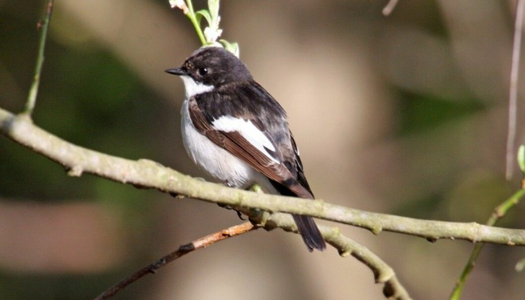Are you fascinated by birdsong?  Ornithologists are uncertain as to how birds maintain their species specific songs. A group of Swedish scientists have studied the European pied flycatcher and found that genetics play a greater role than social learning from adult birds. (Photo: Bjørn Aksel Bjerke, Natural History Museum)