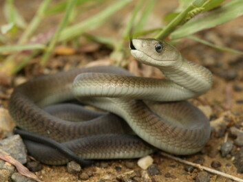 The black mamba is part of the elapid snake family. (Photo: Shutterstock)