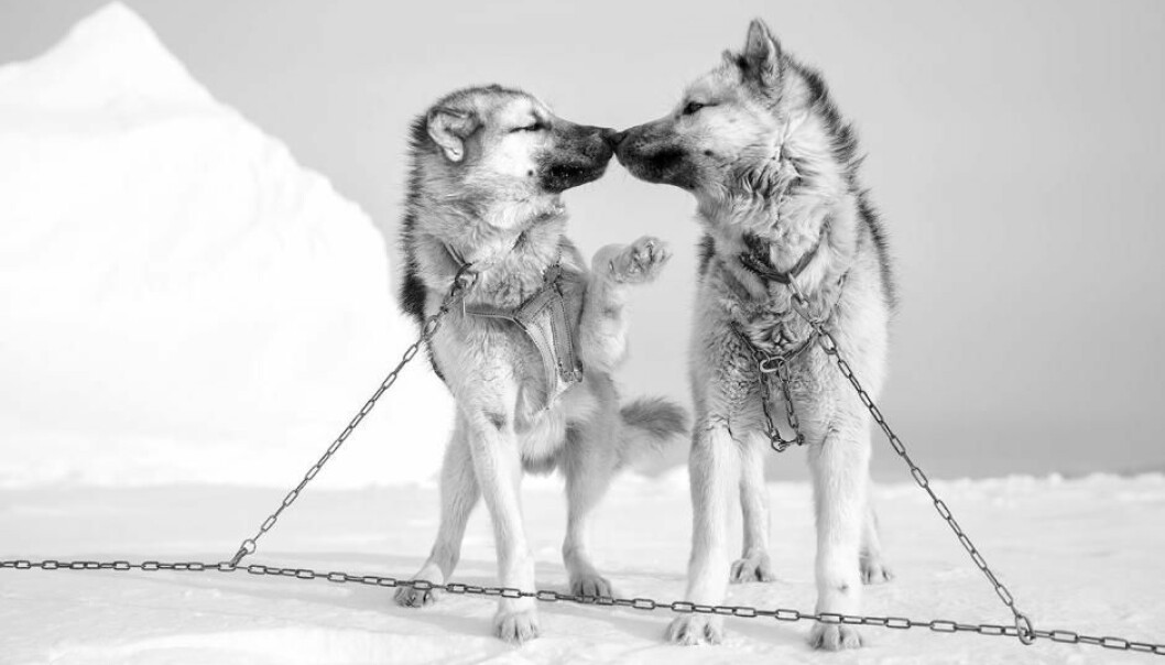 Romance on the ice. Sled dogs from Ittoqqortoormiit in East Greenland. (Photo: Carsten Egevang)