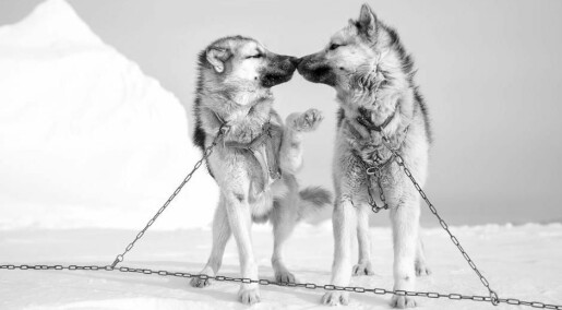 Greenland's sled dog population is decreasing rapidly