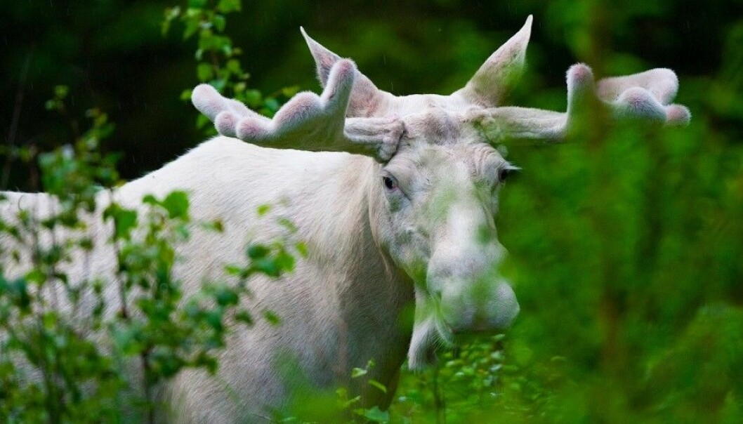 Swedish scientists want to know why many white moose are seen in Värmland County. They are currently analysing the moose DNA to find an answer. (Photo: Lase Dybdahl, Wikimedia Commons)
