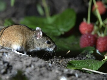 The Danish striped field mouse (Photo: Shutterstock)