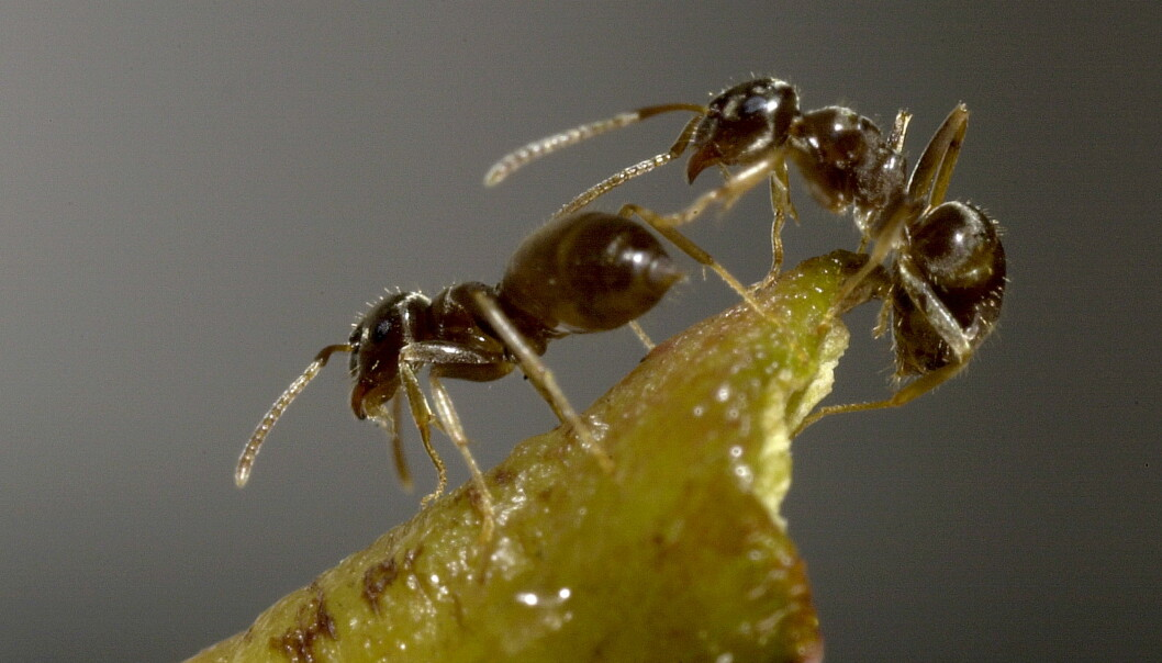 Two workers of the invasive ant species that is currently spreading through Europe (Photo: G. Brovad/ZMUC)