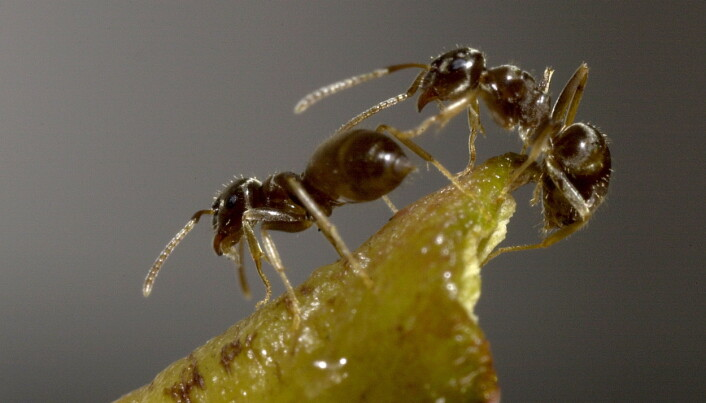 Ants in supercolonies defy evolution