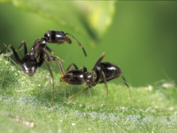 Workers from two different Argentine Ant supercolonies fighting. In 98 percent of these fights, one of the ants dies within ten minutes. (Photo: C. Kønig)