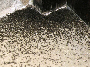 A swarm of invasive ants at the doorstep of a house in Barcelona. (Photo: X. Espadaler/UAB)