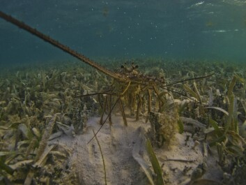 Caribbean spiny lobsters depend on clams they find in seagrass. (Photo: Benjamin Jones, Author provided)
