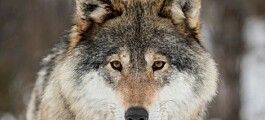 Where did Norwegian wolves originate — and are they hybrids?